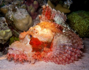 Dušan Richtárik - Scorpion Fish - Egypt